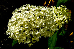6M7A2740 (hallbæck) Tags: hortensia whitehortensia hydrangea hydrangeaceaefamily blomst flower flore flora fiore plant fantasticnature