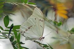 Witte / White Morpho (K.Verhulst) Tags: morphopolyphemus morpho whitemorpho wittemorpho vlinders vlindertuin vlinder butterflies butterfly blijdorp diergaardeblijdorp rotterdam coth5
