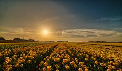 Just another sunny day in Van Gogh's garden. (Alex-de-Haas) Tags: 11mm adobe blackstone d850 dutch hdr holland irix irix11mm irixblackstone lightroom nederland nederlands netherlands nikon nikond850 noordholland photomatix beautiful beauty bloem bloemen bloementeelt bloemenvelden cirrus daffodil daffodils floriculture flower flowerfields flowers landscape landschaft landschap lente lucht mooi narcis narcissen polder skies sky spring sun sundown sunset zonsondergang