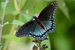 Red-spotted Purple by Jackie B. Elmore 7-19-2018 Lincoln Co. KY (jackiebelmore) Tags: limenitisarthemis redspottedpurple butterfly nikon7100 tamronsp150600f563 lincolnco kentucky jackiebelmore