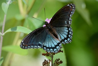 Red-spotted Purple by Jackie B. Elmore 7-19-2018 Lincoln Co. KY