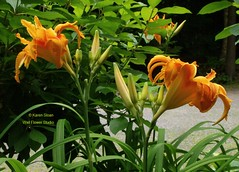 Double daylily, Hemerocallis 'Kwanzo' (Karen @ Wall Flower Studio) Tags: wallflowerstudio summergardenwfs2018july23 karensloan gardening july23 perennials flowers ontario canada grow floral flora plants growing algonquinhighlands minden haliburtonhighlands centraleastontario nature gardenphotos lily daylily hemerocallis kwanzo double orange myfavourite lilies gardenphotography