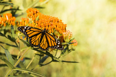 Monarch Sunset (Bernie Kasper (4 million views)) Tags: art berniekasper butterfly color d600 family floral flower flowers butterflyweed hiking indiana indianawildflowers insect insects indianabutterflies jeffersoncounty light leaf leaves love madisonindiana macro nature nikon naturephotography new monarchbutterfly monarch outdoors outdoor old outside orange photography plant park plants bigoaksnwr raw red travel trail summer wildflower wildflowers wings wing sunset