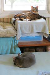 Gracie and Millie 3 July 2018 9972Ri 4x6 (edgarandron - Busy!) Tags: cat cats kitty kitties tabby tabbies cute feline gracie patchedtabby millie graytabby