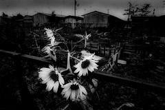 memories 686 (soyokazeojisan) Tags: japan osaka bw street city summer blackandwhite analog olympus m1 om1 21mm film neopanss memories 昭和 1970s 1975