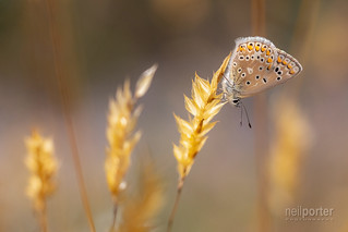 Common Blue (f)