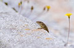 Diagonal (sergio estevez) Tags: bokeh color campodegibraltar fauna flowers luz lagartija macro nikonafs300mmf4 natural diagonal sergioestevez reptile
