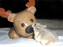Love at first sight (MariMaki) Tags: pets animals kiss moose hamsters dwarfhamsters lilbear