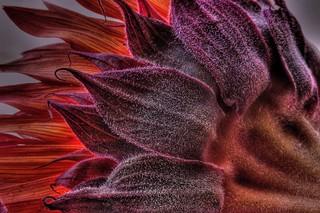 sunflower red