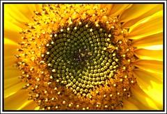 Spiral (mortimer?) Tags: flower yellow spiral frame sunflower 1on1flowers