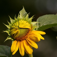 sunflower (jude) Tags: summer flower macro beautiful yellow closeup square petals bokeh 2006 explore jude judith sunflower squared excellence unfolding meskill judithmeskill interestingness12 twtme abigfave highestposition12onthursdayoctober122006 30faves30comments300views musicaltitle 50faves50comments500views judeonflickr
