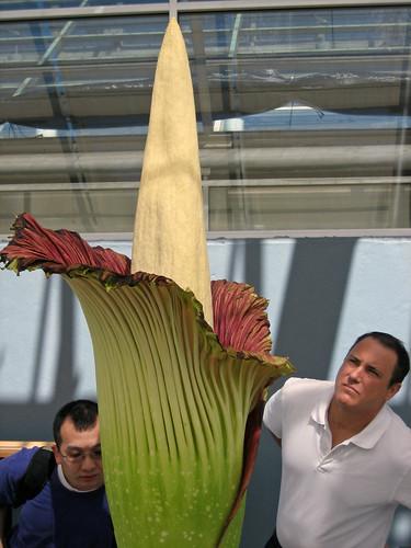 amorphophallus titanum or corpse flower. Amorphophallus titanum