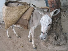 (jenly) Tags: kenya donkey lamu decoratedanimal