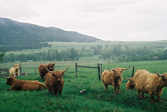 Scottish Highland Cattle, Montana
