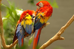 Birds of many colors (Mr. Physics) Tags: blue red orange bird birds parrot msoller specanimal