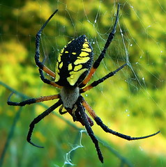 Common Garden Spider -  argiope aurantia (leafy) Tags: urban black male nature water yellow spider stream pittsburgh startled alien watershed environment restoration harmless regentsquare development recovery frickpark ninemilerun sustainable sustainability wetland ecosystem morningwalk argiopeaurantia commongardenspider zipperspider utatafeature leafyutatafeature animalkingdomelite bokehsoniceaugust bokehsoniceaugust24 nmrwa firsttheearth connectingwithnature nativehabitatrestoration ninemilerunorg