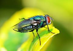 Green Fly (JP.G) Tags: flower macro closeup bug insect fly bugs panasonic jeffgoldblum raynox macroscopic dmcfz30 panasonicdmcfz30 brundlefly raynox150 pdpnw