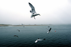 Seagulls in Fog - 7:16PM (Chris Seufert) Tags: new england fog seagull gull massachusetts foggy chatham cape cod utatafeature superbmasterpiece tornadoaward