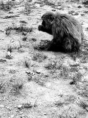 Rising and Setting () Tags: blackandwhite japan monkey kyoto poem arashiyama   photoshoppery