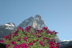 Purple and the peak (travelcedric) Tags: italy italia matterhorn cervino