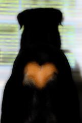 ...Heart... (RottieLover) Tags: dog pet pets dogs animal animals puppy puppies nikon heart rottweiler booty d200 vesuvio rottie rottweilers 18200mm rotties 18200mmf3556gvr mrsu 1on1pets vesu abigfave