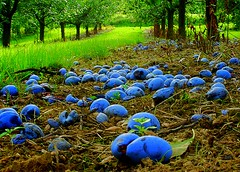 Plum Season (aremac) Tags: blue green nature fruits d50 germany landscape deutschland nikon bravo plum nikond50 mainz rheinhessen lerchenberg outstandingshots gtaggroup