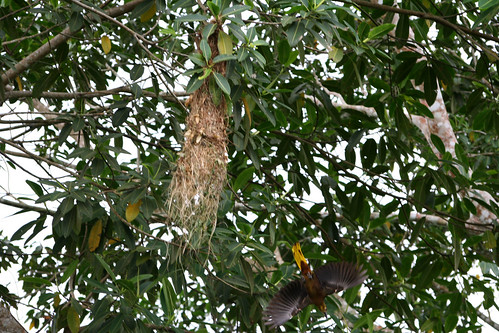 A Russet-backed Oropendola diving from a nest
