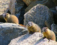 3 Little Marmots (Sandra Leidholdt) Tags: usa naturaleza mountain mountains nature animal animals yellow america rockies rodent us colorado mt unitedstates rocky alpine american rockymountains marmot frontrange bellied marmots mountevans mtevans rodentia wildanimals amricain marmota alpinezone marmotaflaviventris rockymountainhigh flaviventris coloradowildlife sandraleidholdt leidholdt sandyleidholdt
