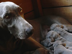 Luise (Dan65) Tags: dog dogs proud milk eyes puppies child birth mother hound maternity weimaraner suckling welpen weimy