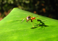 a long road to travel (Felix Francis) Tags: life wild india nature ant kerala best thrissur