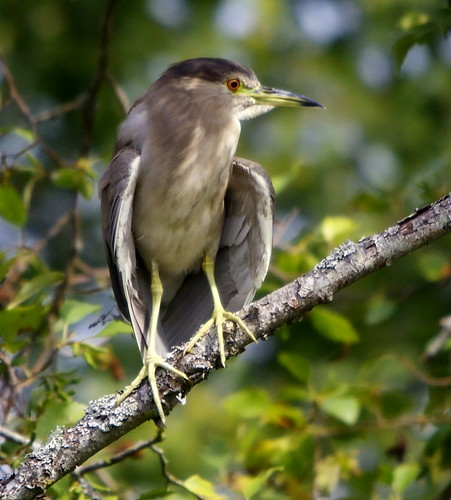 Black-crowned Night Heron (Young Adult)
