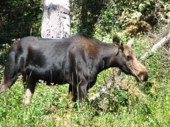 Moose Cow (Redwolf Journeys) Tags: mountains hiking moose wyoming grandtetonnationalpark deathcanyon alcesalces deathcanyontrail
