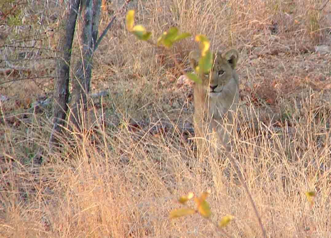 leeuwen welpje (Kruger Park)