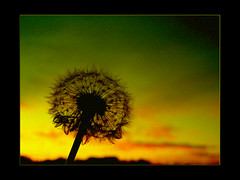 Dandelion at sunset (Earlette) Tags: sunset color photoshop border dandelion abigfave