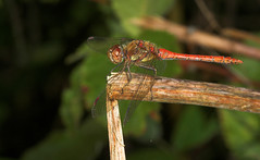 """Common Darter Dragonfly (Sympetrum s(25) • <a style=""""font-size:0.8em;"""" href=""""http://www.flickr.com/photos/57024565@N00/238475175/"""" target=""""_blank"""">View on Flickr</a>"""