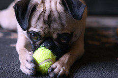Mini Tennis Balls are Good for Pugs ([Christine]) Tags: dog cute puppy pug wookie cotcmostinteresting abigfave explore0909061 impressedbeauty