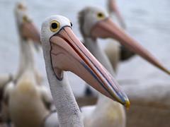 Portrait of a Pelican (Cyron) Tags: bird pelicans geotagged photo labrador flickrimportr australia 2006 pelican queensland zuiko cyron goldcoast pelecanus australianpelican pelecanusconspicillatus zd 40150mm pc4215 geo:tool=gmif 40150mmf3545 geo:lat=27941161 geo:lon=153408703 wildlifeofaustralia taxonomy:class=aves taxonomy:kingdom=animalia taxonomy:phylum=chordata taxonomy:order=pelecaniformes taxonomy:family=pelecanidae taxonomy:genus=pelecanus taxonomy:species=conspicillatus taxonomy:binomial=pelecanusconspicillatus taxonomy:common=australianpelican
