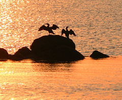 Catching the first rays of morning light (Enamored_With_Horses) Tags: morning light orange sun bird beach nature birds animal animals silhouette sunrise cormorants catchycolors dawn capecod wildlife massachusetts silhouettes beaches cormorant animalplanet animaladdiction surfdrivebeach fcsea