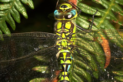 "Southern Hawker Dragonfly (Aeshna cya(1) • <a style=""font-size:0.8em;"" href=""http://www.flickr.com/photos/57024565@N00/241499652/"" target=""_blank"">View on Flickr</a>"