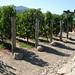 Vineyard at Robert Mondavi Winery