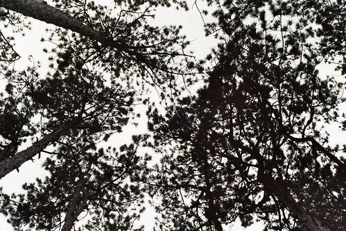 Photographie: Blick auf Baumkronen von unten