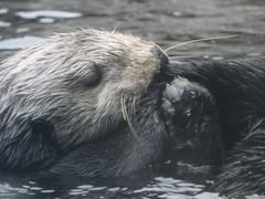 otter scratching the itch (muzzanese) Tags: santacruz montereyaquarium