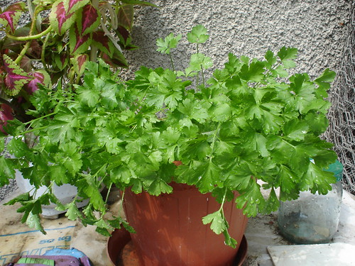 Herbs for winter - parsley in a pot