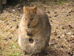 Quokka and baby. (Tanya in BNE) Tags: cute nature beautiful animal cards island scenery relaxing scenic australia 2006 moo perth printing wa daytrip quokka august2006 rottsnest moocards rottsnestisland beginnerdigitalphotographychallengewinner