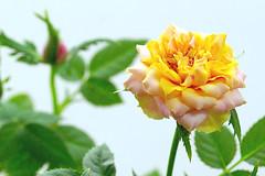 rose ibiza-forever