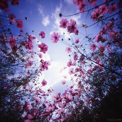 Medicine of my smile (tearoom) Tags: 2005 pink flowers smile thankyou angle pinhole osaka topv11111 e100vs zero2000 cosmos zeroimage themoulinrouge topv44444 topv33333 topv22222 expocafe topf1000 supershot flowerscolors topf800 1500v60f topf900 colorphotoaward impressedbeauty topf1500 world100f alemdagqualityonlyclub 100earthcomments