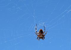 Ewwwww! (wanderingnome) Tags: california spider mybackyard ventura venturacounty neosconaoxacensis ©wanderingnomez canon50mmf25compactmacrolens commonorbweaver