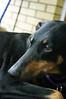 Sadie (paigelynn) Tags: dog pet pets dogs canon pennsylvania sadie 2006 pa doberman dobermanpinscher paigelynn thebiggestgroup ©paigemandera