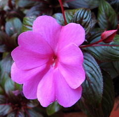 Pink flower and bud (photoholic1) Tags: pink flower garden ilovenature specnature