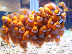 Cluster F.... (aliceswndrland) Tags: world ocean school sea orange white fish water digital aquarium epcot tank florida clown salt disney disneyworld clownfish waltdisneyworld walt fishes saltwater aquariums saltwateraquarium abigfave ci33